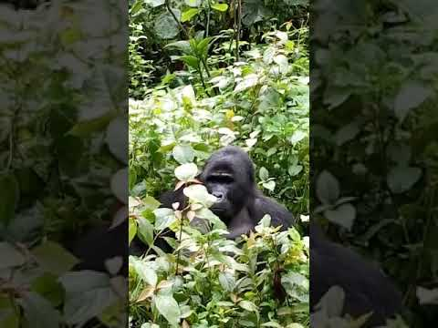 https://www.greatadventuresafaris.com/gorilla-tours/