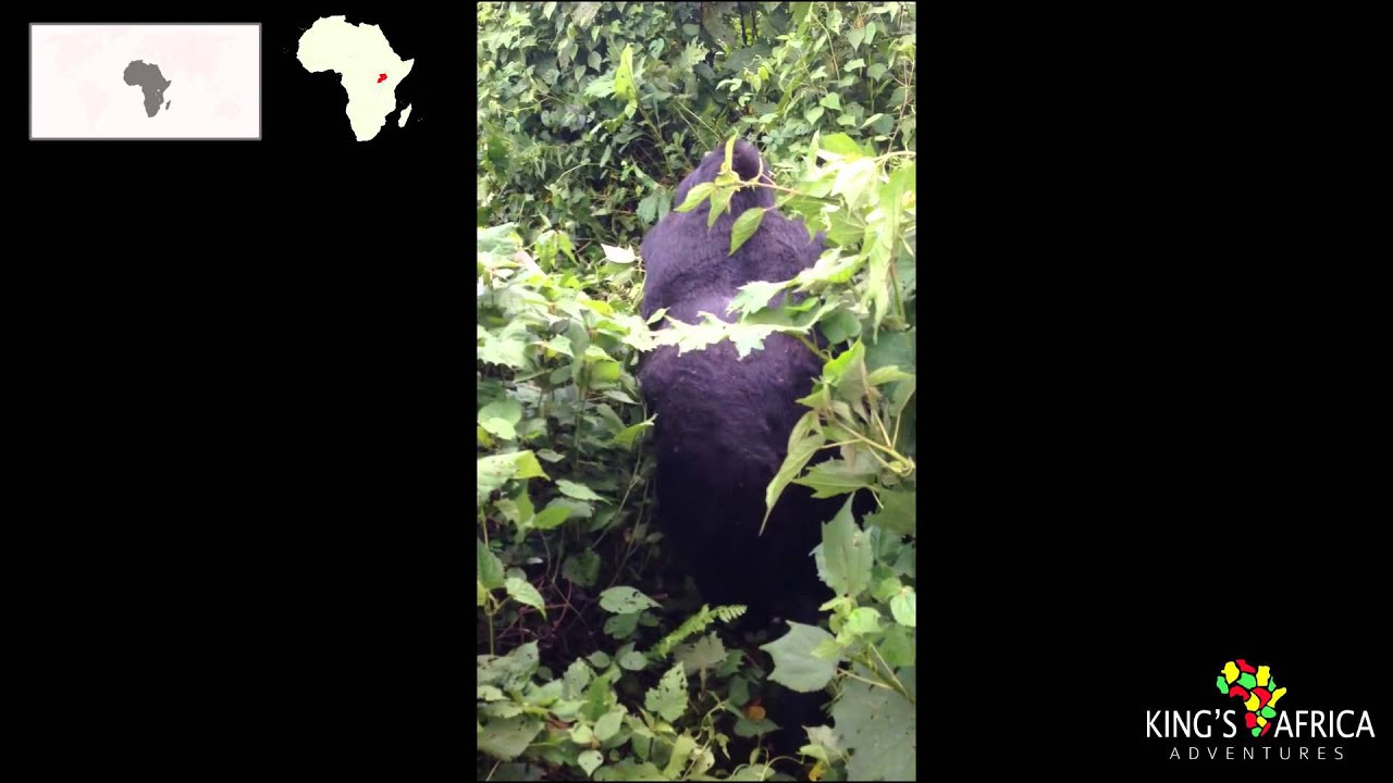 Gorilla Trekking in Uganda – Bwindi Forest National Park