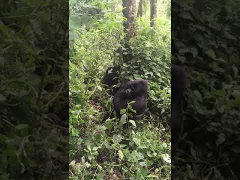 , Gorilla Tracking in Uganda