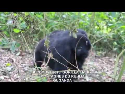 20161228  GORILLA TREKKING MONTAGNES DU RUHIJA OUGANDA 13