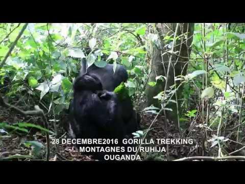 20161228  GORILLA TREKKING MONTAGNES DU RUHIJA OUGANDA 14