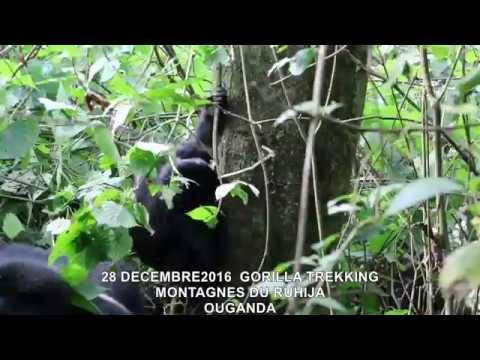 20161228  GORILLA TREKKING MONTAGNES DU RUHIJA OUGANDA 16
