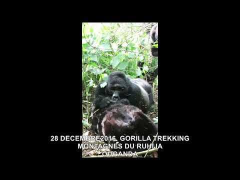 20161228  GORILLA TREKKING MONTAGNES DU RUHIJA OUGANDA 17