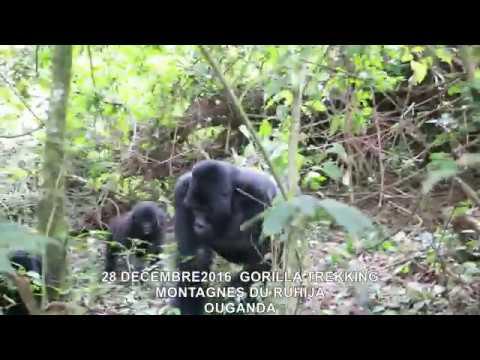 20161228  GORILLA TREKKING MONTAGNES DU RUHIJA OUGANDA 4