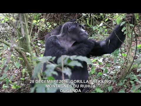 20161228  GORILLA TREKKING MONTAGNES DU RUHIJA OUGANDA 8