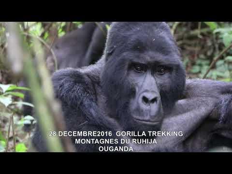 20161228  GORILLA TREKKING MONTAGNES DU RUHIJA OUGANDA 9