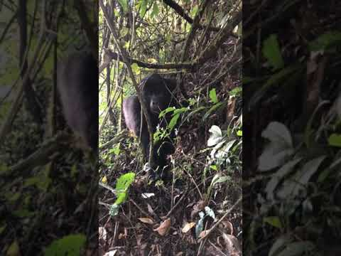 , Bwindi Mountain Gorilla Encounter!!!