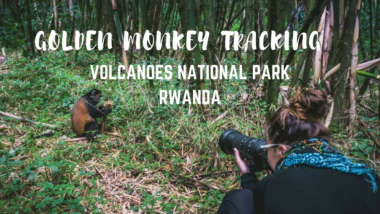 Golden Monkey Tracking in Volcanoes National Park, Rwanda | 2018