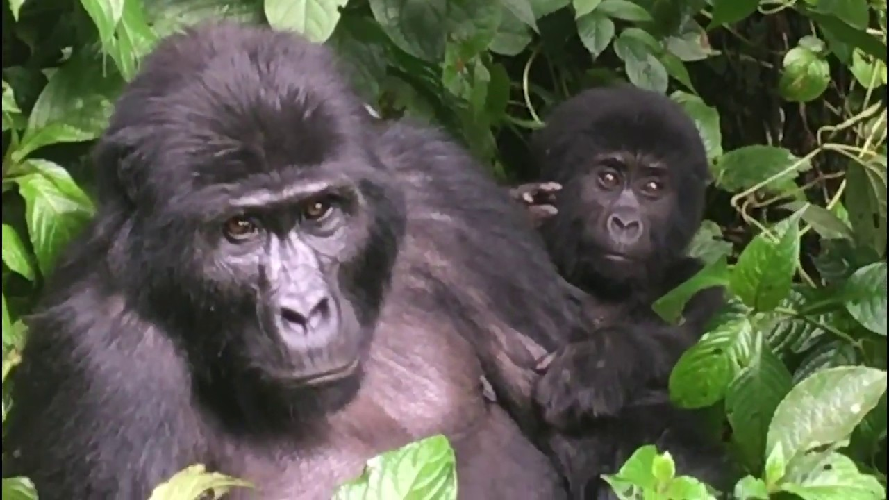 Gorilla Trekking in Bwindi Impenetrable Forest