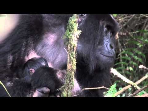 Rwanda Gorilla Trekking Day 1 - Hirwa Group - Twin Baby Gorillas