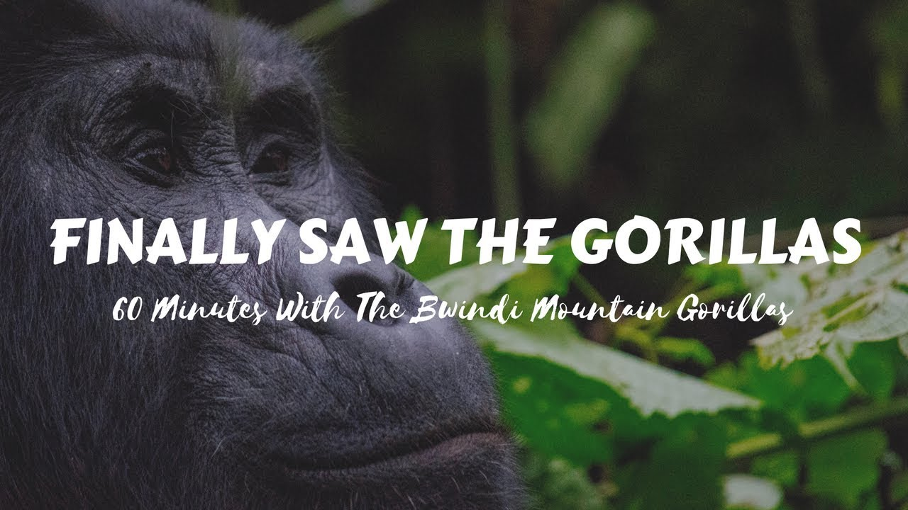 The Ugandan Tourist Goes Gorilla Tracking