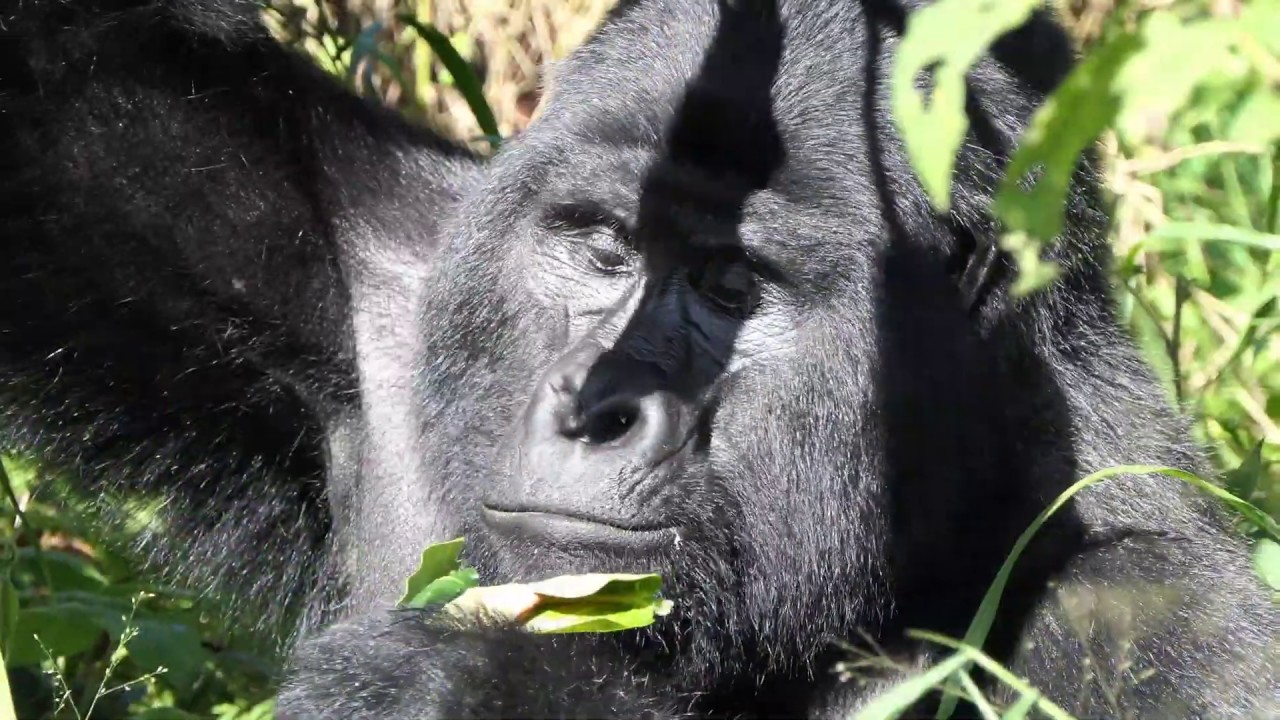 Uganda Gorilla Tracking in Bwindi Impenetrable Forest in 4K