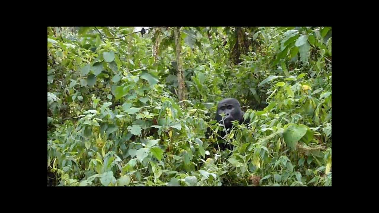 mountain gorilla tracking at the bwindi impenetrable rainforest, uganda