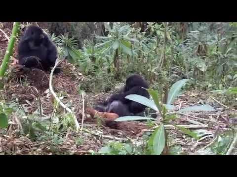 , En ung gorilla sørger over moren sin i Volcanoes National Park, Rwanda