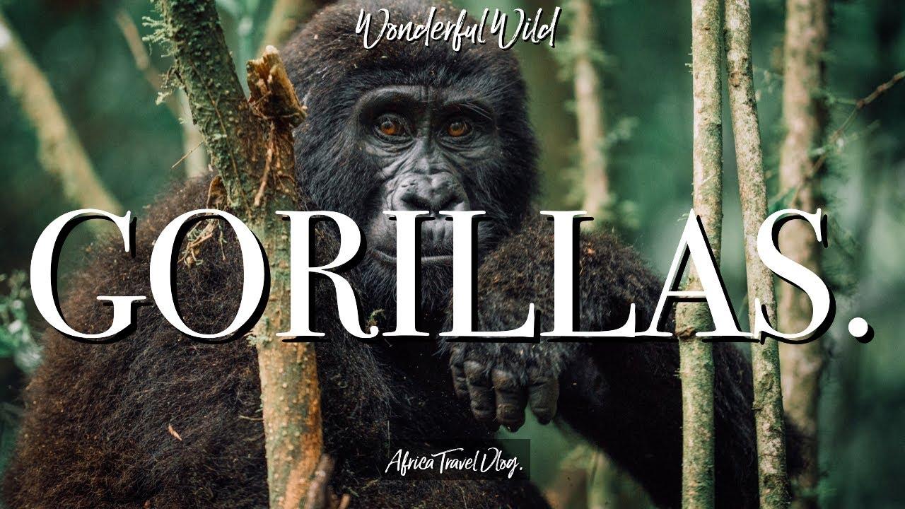 , GORILLA TREKKING IN UGANDA. Africa Travel Vlog.