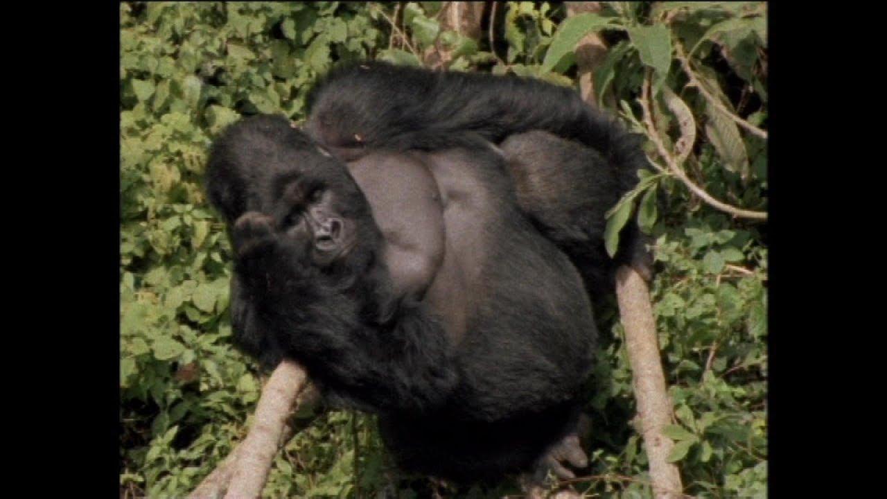 Gorilla Trekking - Auf den Spuren der sanften Riesen (+2752 views)