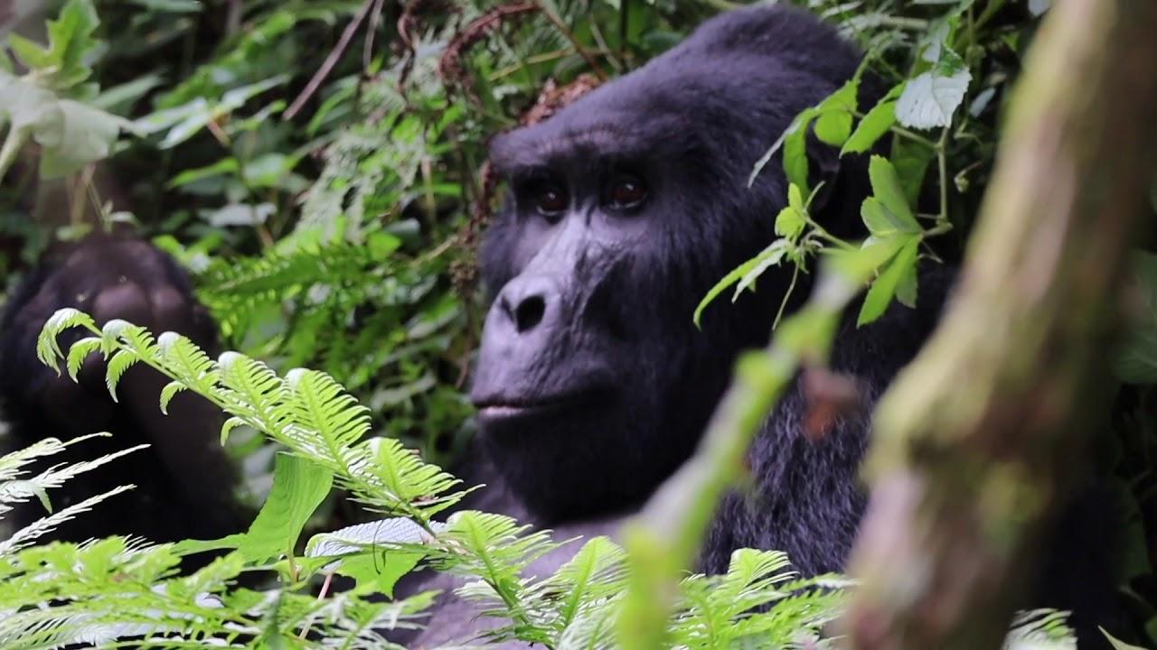 Gorilla Trekking in Bwindi - Uganda  - Dec 2018 - Music: Mariarosa by Eddy Kenzo