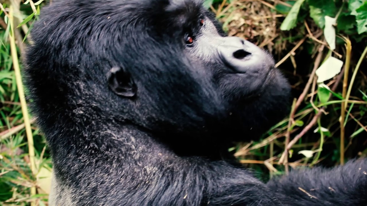 Gorilla Trekking in Rwanda - Volcanoes National Park! | Mini Travellers